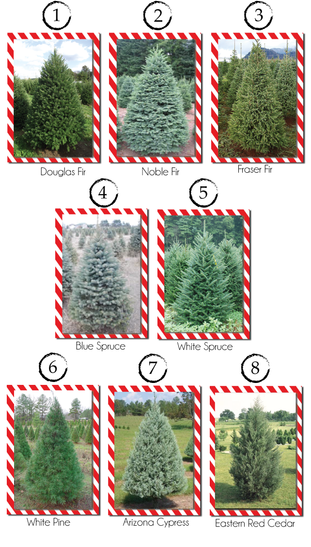 Type Of Christmas Trees.Different Types And Varieties Of Christmas Trees Roo Rain Gear