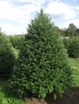 Varieties of Christmas Trees - Douglas Fir