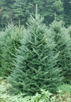 Different Varieties and types of Christmas Trees - Fraser Fir