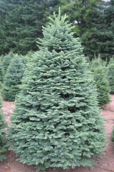 different varieties and types of christmas trees noble fir - Different Kinds Of Christmas Trees