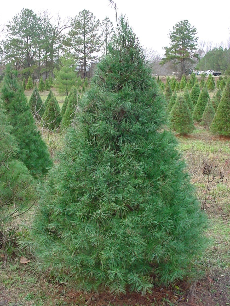 Different types of christmas trees pictures - Different Types And Varieties Of Christmas Trees White Pine