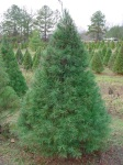 Different types and varieties of Christmas Trees - White Pine
