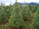 Different types and varieties of Christmas Trees - White Spruce